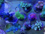 SPS Korallen Rhein-Main update 20