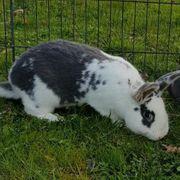 Wiener Mix Rammler kastriert Kaninchen