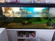 1 Höckerschildkröte inkl Aquarium und