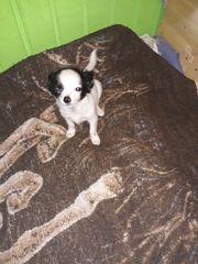 Chihuahua hündin abzugeben