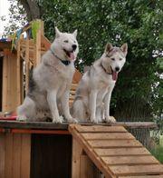 Wurf Ankündigung Reinrassige Siberian Husky