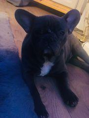 Französische Bulldogge Blue