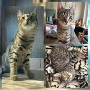 Wunderschöner Baby Kater Kitten Adrian