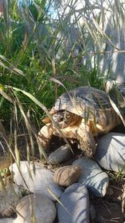 2 Breitrandschildkröten Testudo marginata