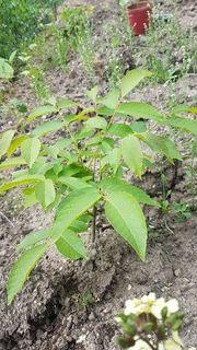 wallnüspflanzen