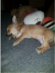 Lieber Chihuahua Rüde 3 5