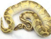 königspython lesser enchi pastel het