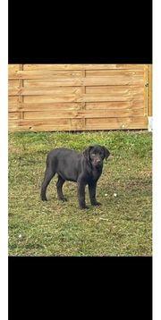 Labradorwelpen