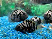 Zebrabuntbarsch Amatitlania nigrofasciata