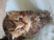Süße Perser Babys reservier bereit