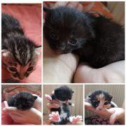 Birma Mix Kitten Katzenbabys