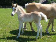 Gartendünger Pferdemist zu verschenken