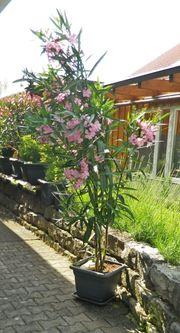Oleander gross