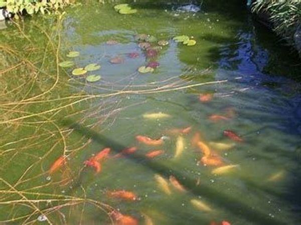 20-30 Goldfische in verschiedenen Farben