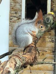 Sibirisches Eichhörnchen männlich gesucht