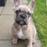 Französische Bulldoggen wurfankündigung