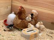 Bruteier Hühner