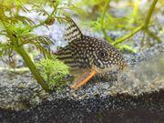 Corydoras sterbai Orangeflossen-Panzerwelse Gruppenabgabe