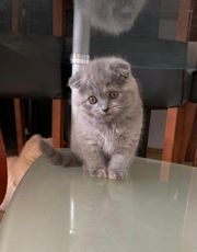 Baby Katze BKH Scottish Fold