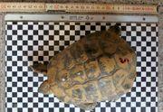 Griechische Landschildkröten 1 2