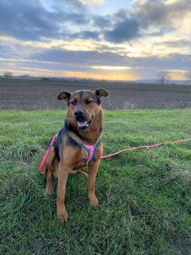 Hunde - aufmerksame aufgeschlossene Schäferhundmischlingshündin Lora sucht