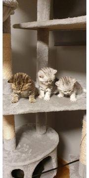 BKH Kitten zum Verkauf angeboten