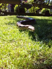 Adulte Boa Constrictor Imperator weibl