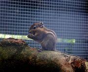 Baumstreifenhörnchen und Junges männlich