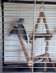 Ein Paar Sperlingspapageien