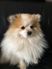 Zwergspitz - Pomeranian Rüde vermisst offener