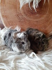 2 Baby Meerschweinchen Böckchen