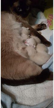 siam scottish fold kitten