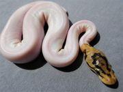 Königspythons Babys Schlangen Pythons Terrarien