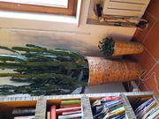 Riesengroßer Kaktus 2 m hoch