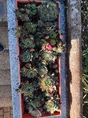 Steinpflanzen Hauswurz Dachwurz