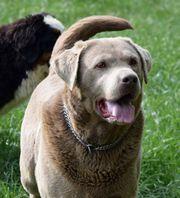 Labrador Deckrüde mit Papiere und