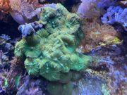 Meerwasser Kupferanemonen Scheibenanemonen Sandanemonen Keniabäumchen
