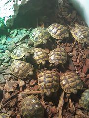 griechische und maurische Landschildkrötenbaby s