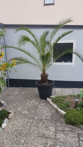 Pflanzen - Palme Canarische Dattelpalme