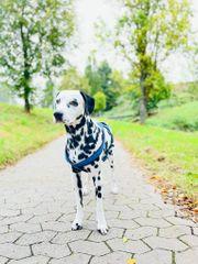 Dalmatiner Deckrüde