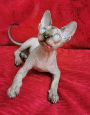 Abholbereit Canadian Sphynx Kitten