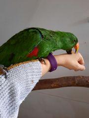 Papageien Neuguinea Edelpapageien Paar 1
