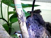 Vogelspinnen Brachypelma Tliltocatl Poecilotheria Pterinochilus