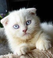 Scottish Fold Kitte Junge - sofort