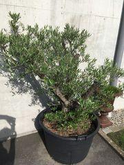 Olivenbaum- Topfdurchmesser 85cm