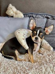 Zuckersüße Reinrassige Chihuahua Hündin