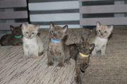 Reinrassige Burma Kätzchen