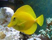 Meerwasser Zebrasoma Flavescens Hawaii-Doktorfisch 12-13cm