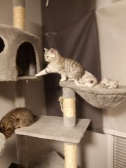 BKH Britisch Kurzhaar Kitten