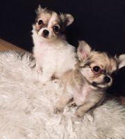 Süße Chihuahua Welpen suchen Kuschelplatz